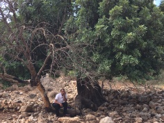 $5 can plant an olive tree that has been uprooted by settlers